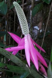 Inflorescence of an Aechmea bromeliad.