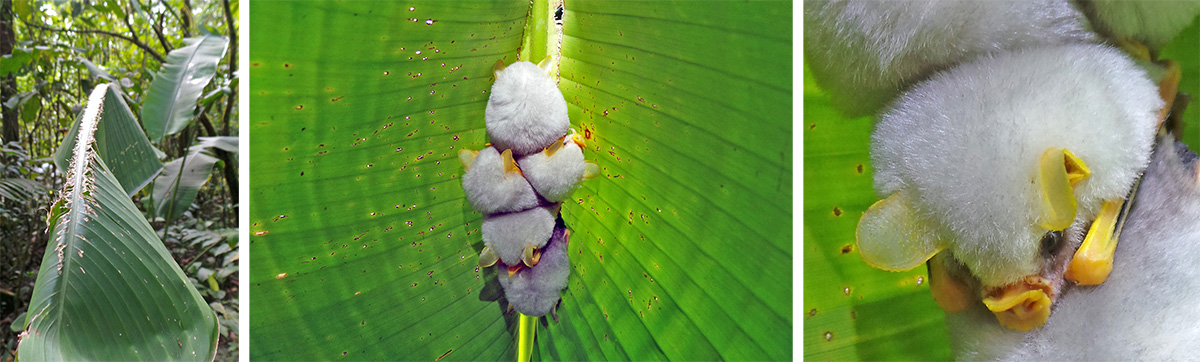 Leaf cut to make tent (L), Honduran white bats roosting under leaf (C), and closeup of four bats (R).