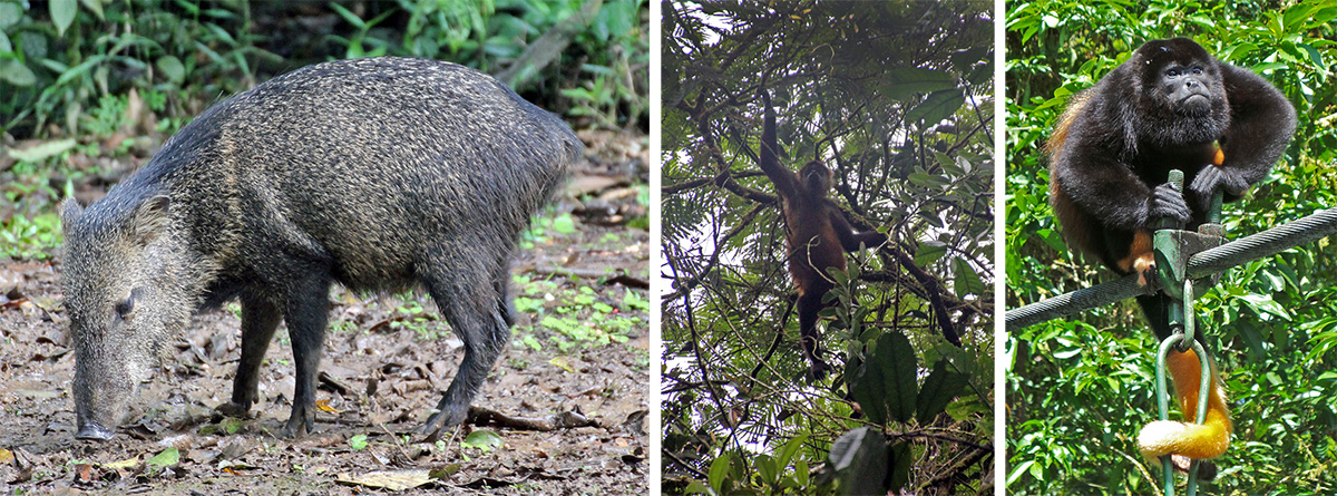 Collared peccary (L, spider monkey hanging in tree (C), and uniquely patterned howler monkey (R).