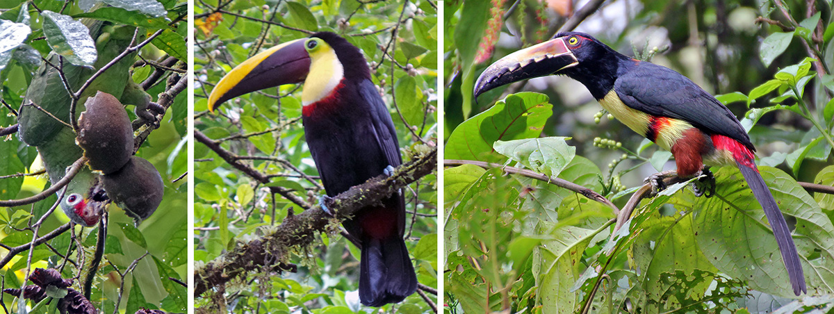 Crimson-fronted parakeet hanging upside down to eat fruit (L), chestnut-mandibled toucan (C), and collared aricari (R).