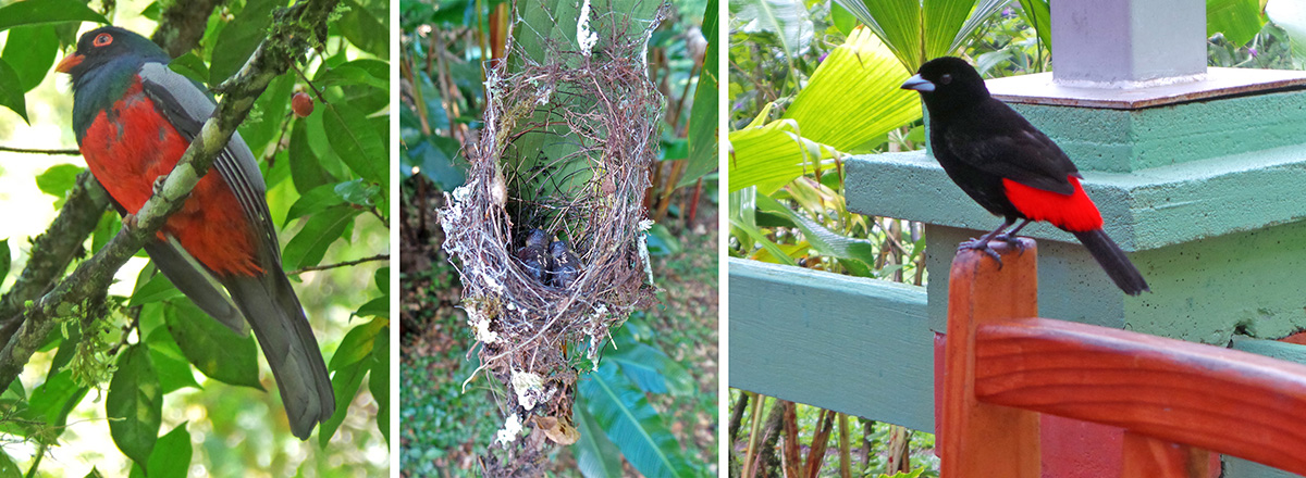 Slaty-tailed trogon (L), humminigbird nest under heliconia leaf with 2 young (C), and Passerini's tanager (R).
