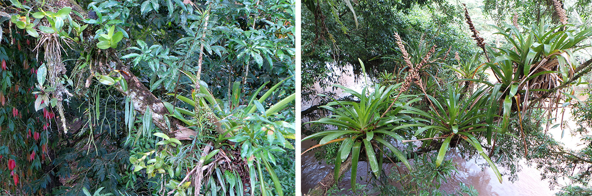 Epiphytes clinging to trees include orchids, cactus, and ferns (L) and bromeliads (R).