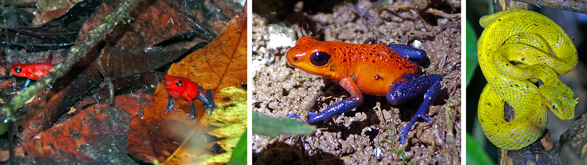 Strawberry or blue jeans poison dart frogs (Land C), and golden eyelash viper (R).