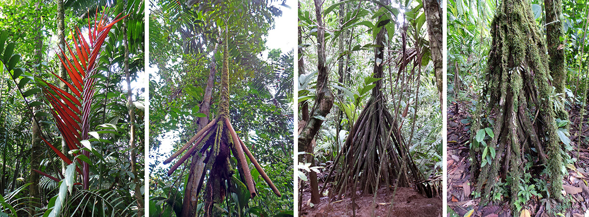 The red leaves of Welfia regia (L); looking up from the stilt roots to the fronds of a walking palm, Socratea exhorrhiza (LC), and the stilt roots (RC) covered with mosses and other plants (R).