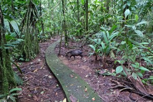 One of the many miles of concrete trails through the forest at La Selva.