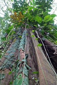 Tall trees, lianas, and epiphytes abound in the primary rainforest.