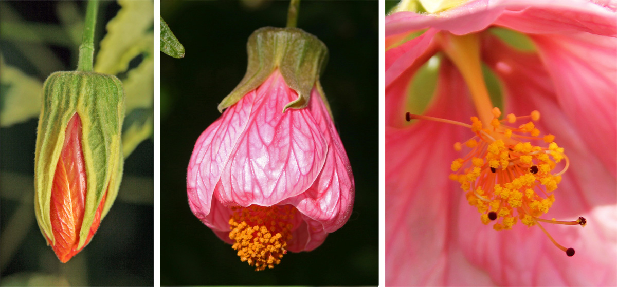 Flowering Maple Abutilon Spp Master Gardener Program