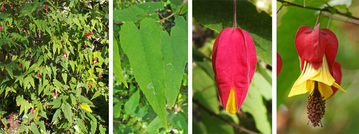 Abutilon megapotamicum plant(L), narrow leaves (LC), flower bud (RC) and open flower (R).