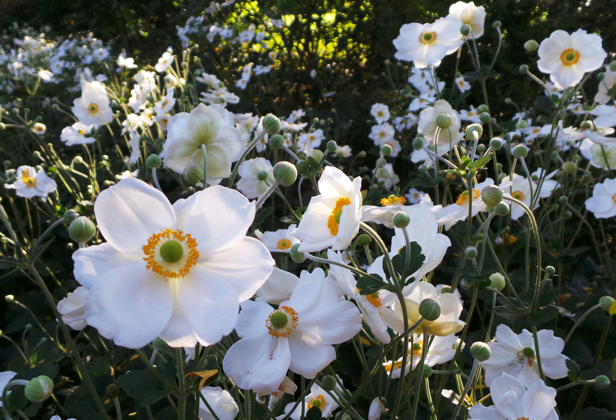 A mass planting of Anemone Honorine Jobert in bloom.