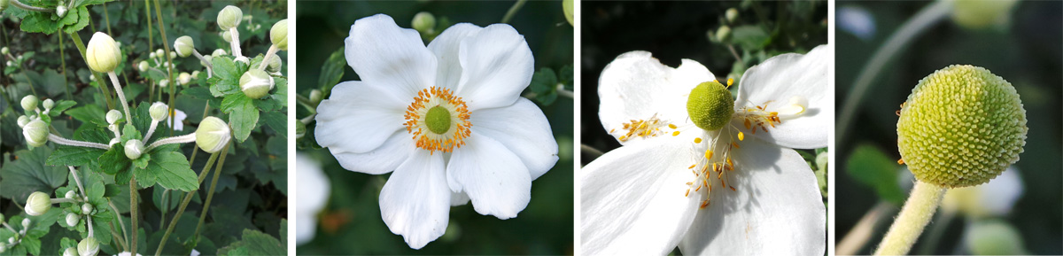 The white flowers (LC) emerge from rounded buds (L), eventually losing the stamens (RC) and petals to leave a rounded seed head (R).