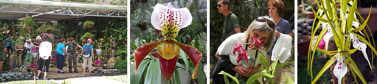 The group in the orchid showhouse (L), large paphiopedilum orchid (OC), Carol smells and orchid (RC), and showy Brassias (R).