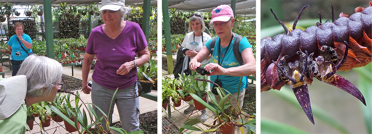 B'Ann smells the flower of Bulbophyllum imbricatum while Maureen waits her turn (L), Cindy photographing the brown infloresence (C), and closeup of the flowers (R).