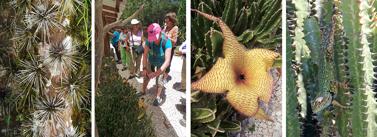 Spiny trunk of Pereskia sp. (L), Cindy photographs the Stapelia gigantean (LC) and its large flower (RC), a green spiny lizard in a euphorbia (R).