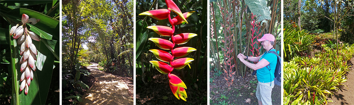 Shell ginger flowers, Alpinia zerumbet (L), walking under tree ferns (RC), flower of Heliconia rostrate (C), Cindy photographs Heliconia longa (RC), terrestrial bromeliads form a ground cover along a path (R).