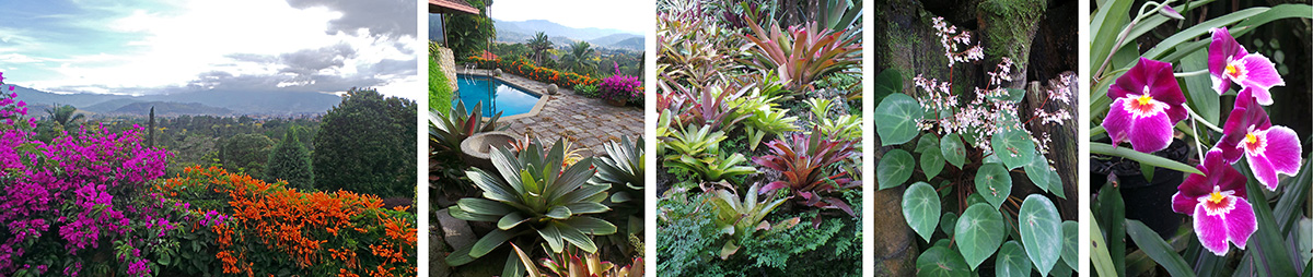 Purple bougainvillea and orange flame vine frame the view from the front terrace of the Teran home (L), a huge Alcanterea (= Vriesea) imperialis in front of the pool (LC), a slope covered with terrestrial bromeliads and ferns (C), a blooming begonia (RC), Miltonia orchid flowers (R).