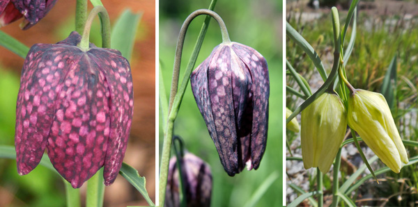 Guinea hen flowers vary in color from red (L) to pink or purple (C), or white (R).