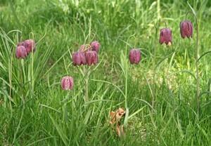 Guinea hen flowergrows best in fertile, well-drained soil in full sun or partial shade.