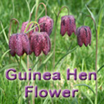 Fritillaria_meleagris-title