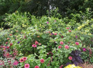 Place balloon plant behind shorter annuals.