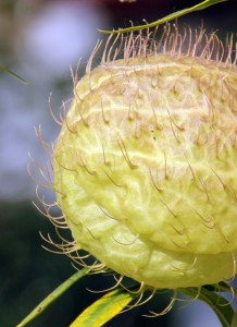 The pods are covered with long hair-like spines.