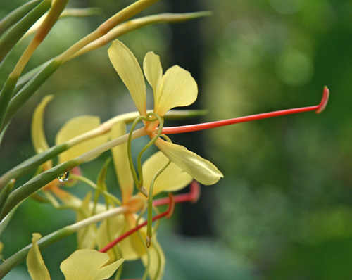 Each flower has yellow petals and a prominent long red-orange stamen.