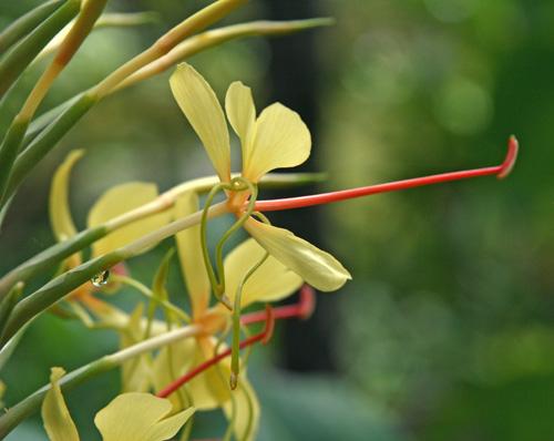 Kahili ginger hedychium gardnerianum master gardener program each flower has yellow petals and a prominent long red orange stamen mightylinksfo