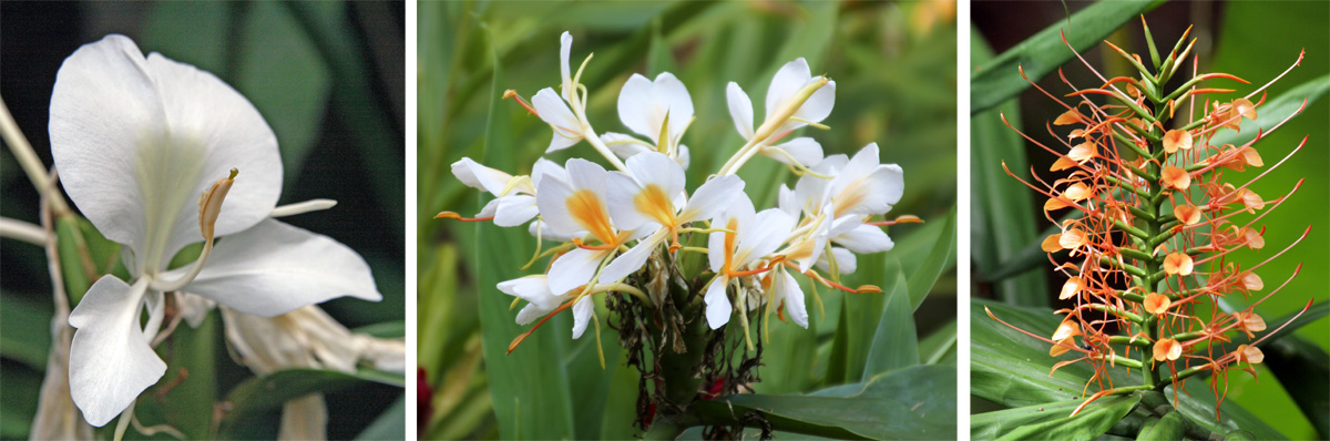 White ginger, Hedychium coronarium (L); yellow ginger, H. flavescens (C); and red ginger, H. coccineum (R).
