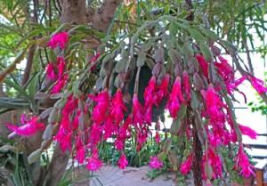 Holiday Cactus – Master Gardener Program