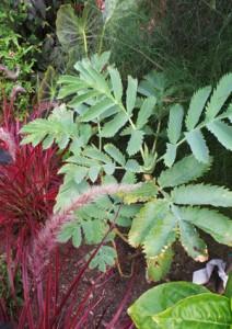 Honeybush is used as a seasonal ornamental in cool climates.