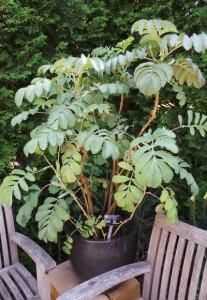 Honeybush at Olbrich Botanic Gardens, Madison, WI.