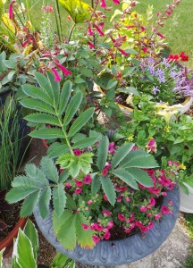 Pair honeybush in containers with red or purple flowers and plants with fine-textured leaves.