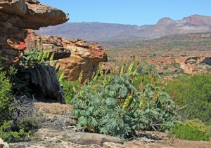 Melianthus major in habitat in the Cedarberg Mountains near Clanwilliam, South Africa.