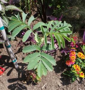 Grow honeybush in full sun to partial shade and moist soil.