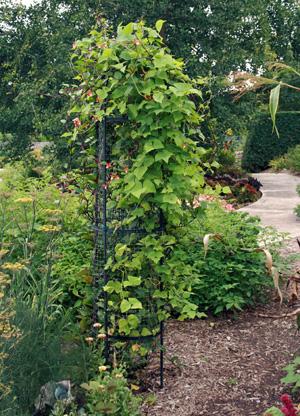 When grown on a trellis scarlet runner beans offer a vertical element in the ornamental garden.