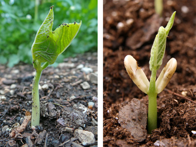 Scarlet runner bean seedling (L) and common bean (P. vulgaris) seedling (R). Note the absence of visible cotyledons for the runner bean (L) compared to the large whitish cotyledons below the first true leaves of the common bean (R).
