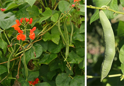 If pollinated, the flowers are followed by long pods (L) with a rough texture (R).