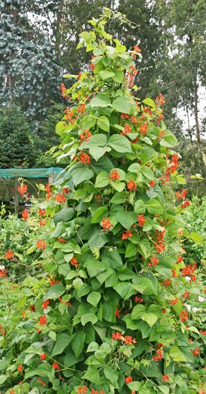 Scarlet runner bean growing on a tall teepee.