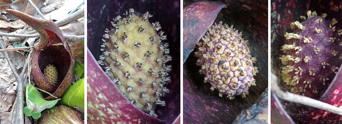 The spathe never fully opens and remains surrounding the spadix (L), which can range in color from pale yellow (LC), to mottled (RC), to dark purple in color (R). The stigmas and stamens are exerted from the sepals in all three.