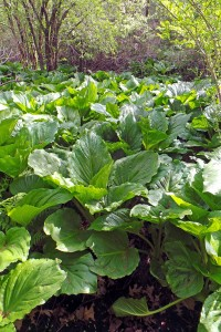 A dense natural population of skunk cabbage in a marshy area.