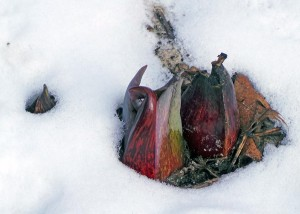 Skunk cabbage can bloom even when there is snow on the ground.