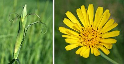 Curved leaves (L) and flower of Tragopogon praetensis (R).