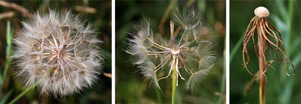 The flowers are followed by seedheads resembling that of a dandelion.