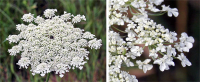 The flower of Queen Annes lace (L) is made up of many small flowers (R).