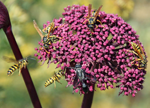 Many natural enemies visit flowers for the nectar and pollen.