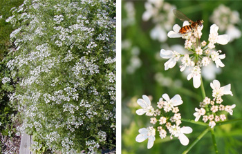 Cilantro flowers attract many small insects.