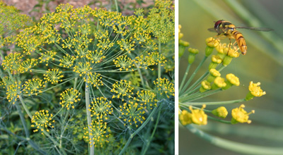 Dill is a common garden plant with flowers that are quite attractive to natural enemies.