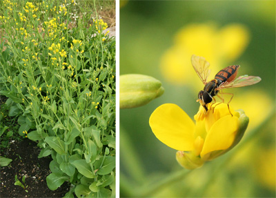 Flowering bok choi (L) provides food for a small syrphid fly (R).