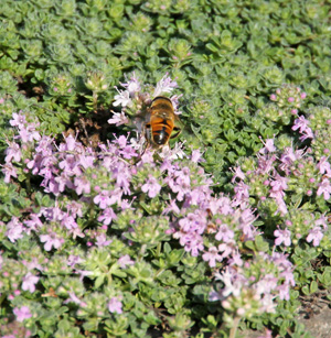 A syrphid fly visits creeping thyme flowers.