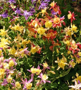 Hybrid columbines are susceptible to two common pests of columbine.