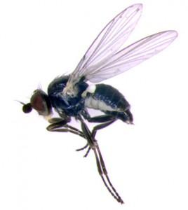 Adult fl y of Phytomyza aquilegivora. Photo © 2011 by MJ Hatfi eld, from http://bugguide.net/node/ view/597738